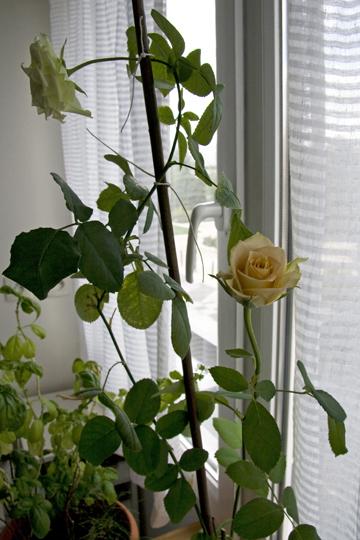 rose0831p.jpg