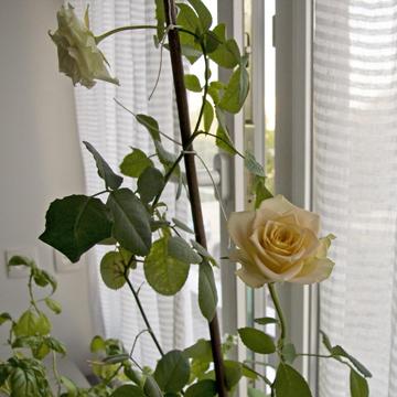 rose0903b-p.jpg