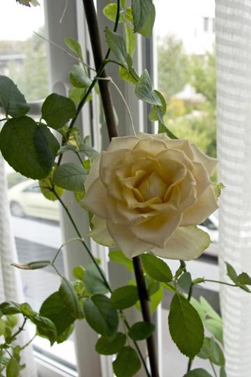 rose0906d-p.jpg